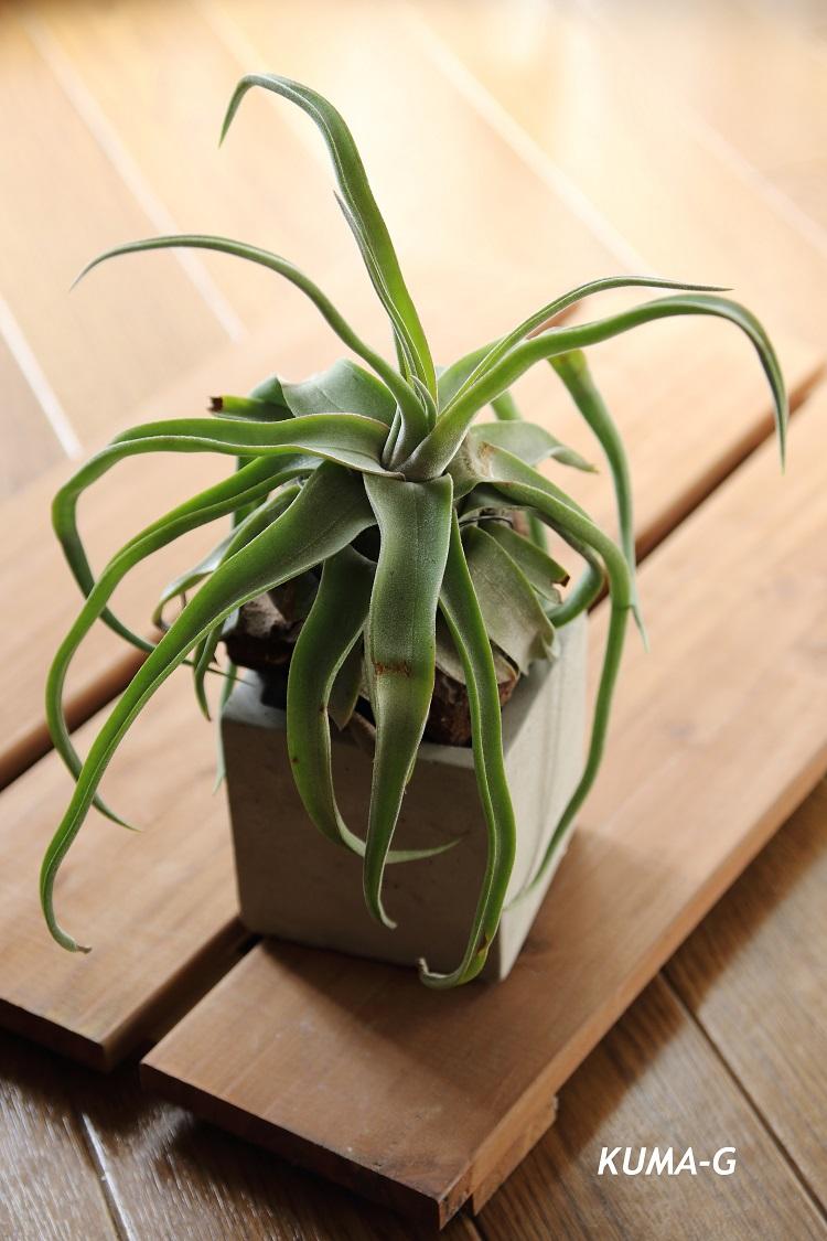 Tillandsia streptophylla ストレプトフィラ