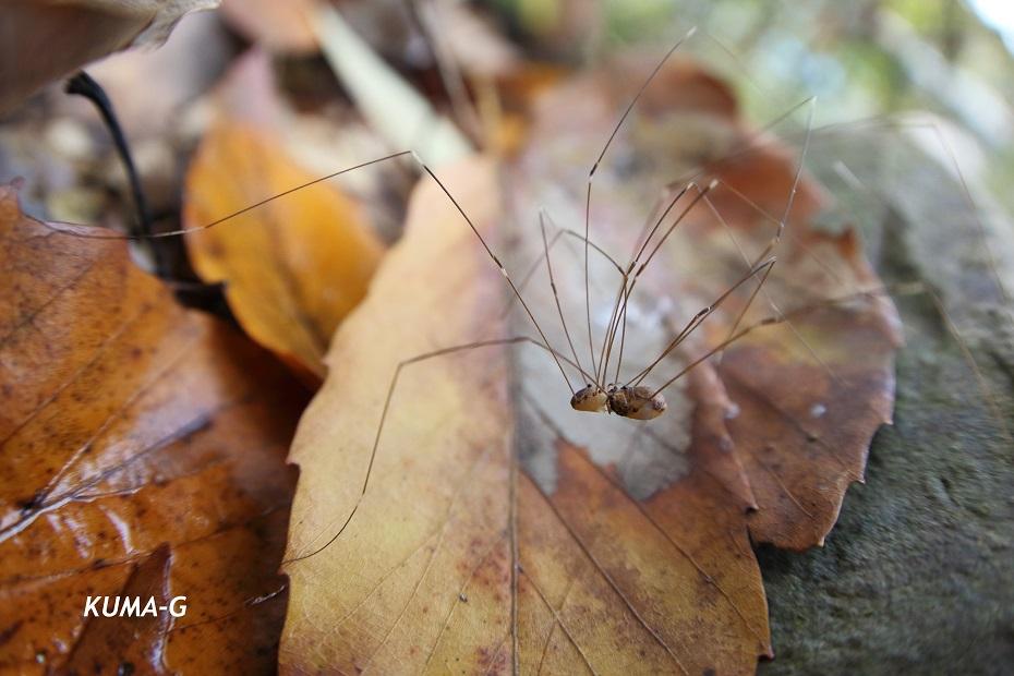 Leiobunum japonicum