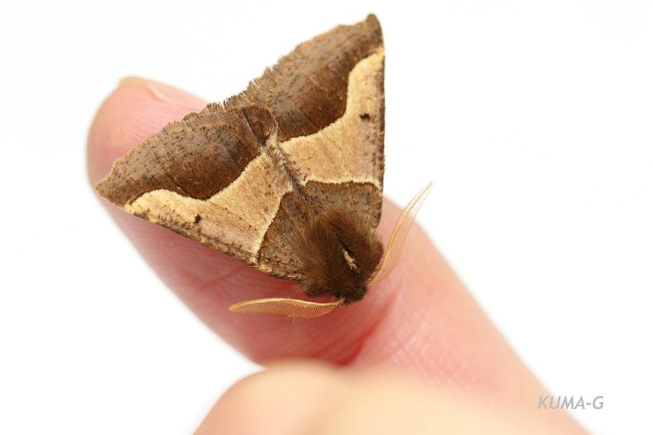 Wilemania nitobei