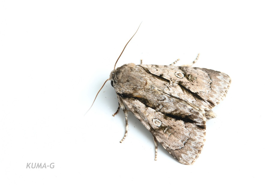 Craniophora fasciata