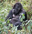 114px-Susa_group,_mountain_gorilla