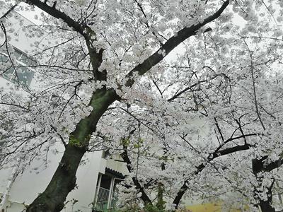 オーナー桜1