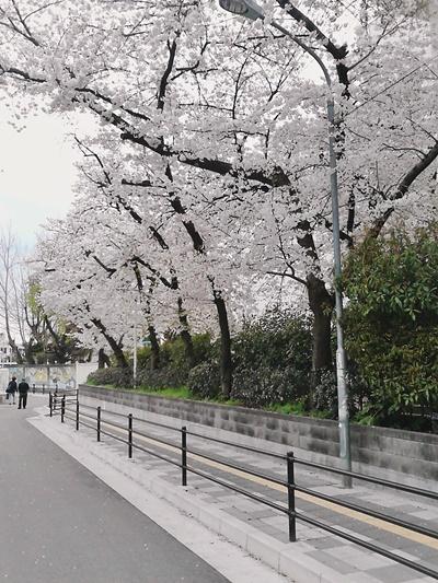 オーナー桜2