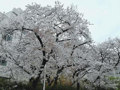 オーナー桜3