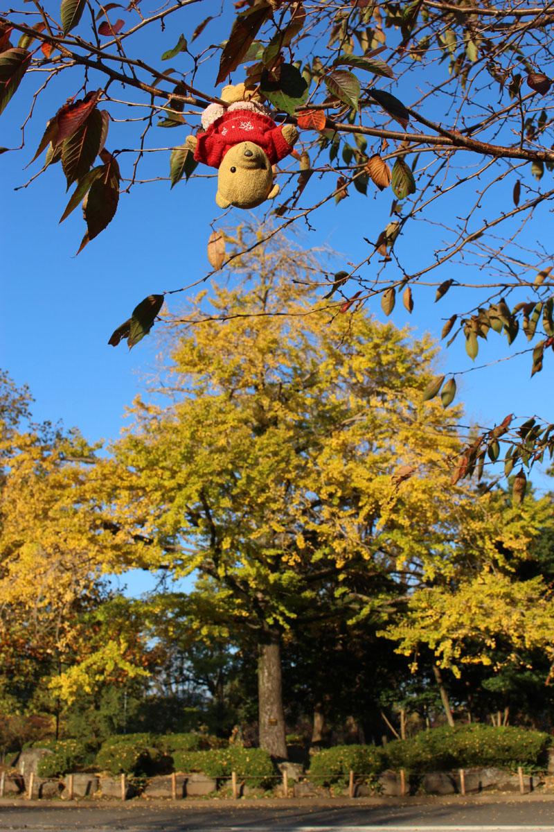 駿府城公園の銀杏と 逆さで 151124