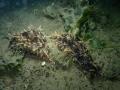 フレリトゲアメフラシ (5)