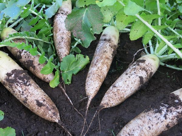 家庭菜園 大根 畑 保存