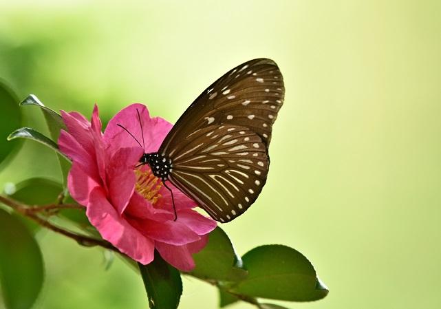 山茶花とチョウ(1)
