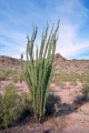 Ocotillo_GB[1]
