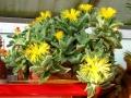 Faucaria-tigrina-flores[1]