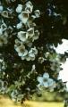 Eucryphia_cordifolia[1]