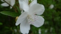 Eucryphia_lucida_Leatherwood_flower[1]