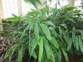 ElettariaCardamomum[1]