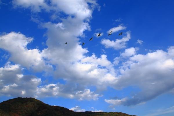 コハクチョウ_白鳥湖