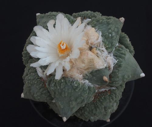 カリフラの花