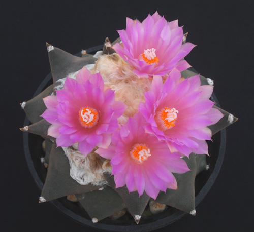 花×赤花三角2015