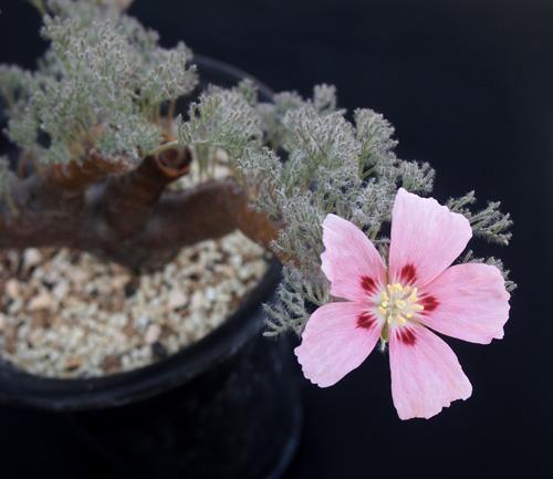 サルコの花