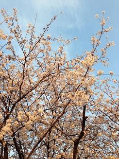 ライフ前の桜