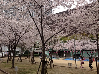 オリックス前の桜