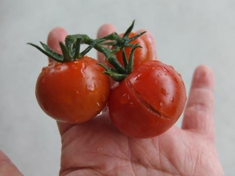 ベランダ菜園 トマト 爆発