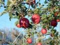りんご狩りDSCN0296