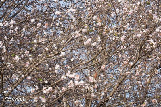 秩父ミューズパークの十月桜