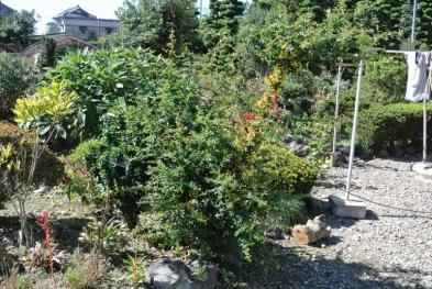 2015-10-2庭木伐採前