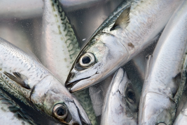 イワシ鮮魚