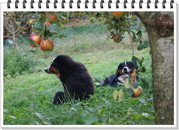 2015-10りんごと