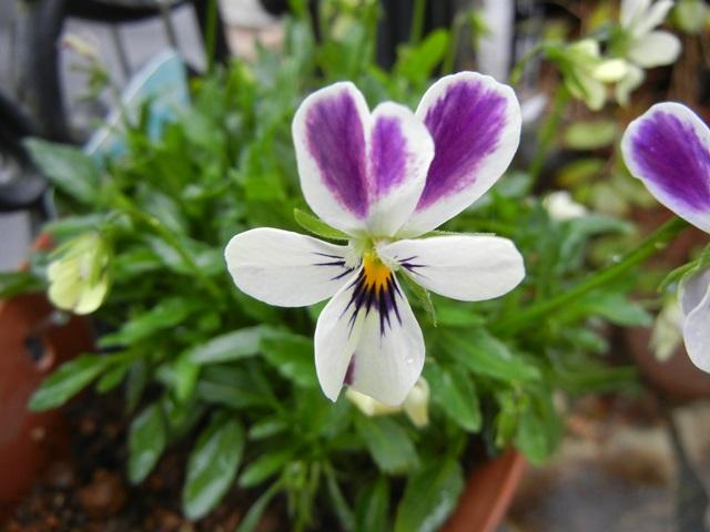 Viola_blueberrycream_151107a.jpg