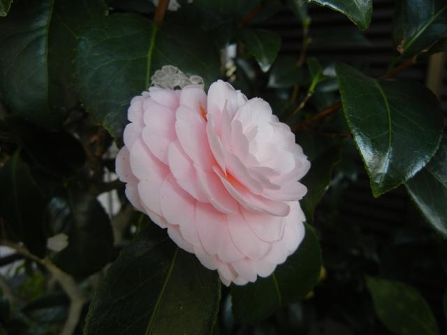 tsubaki151114.jpg