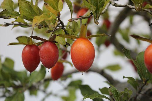 IMG_8923-1老爺柿