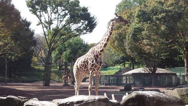 多摩動物公園 キリン