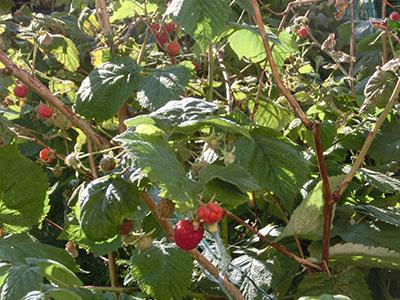 rasberry06.jpg