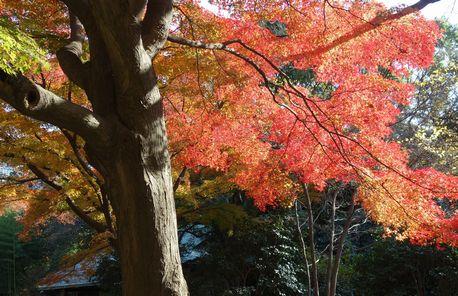東御苑の紅葉1