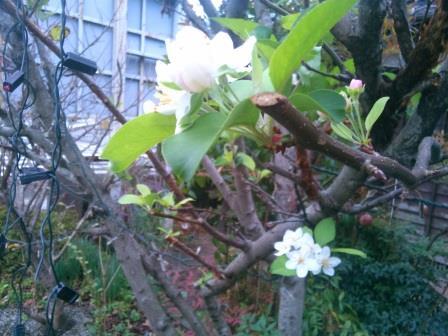 ひめりんご花ー3