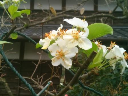 ひめりんご花ー2