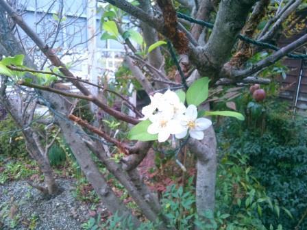 ひめリンゴ花ー1