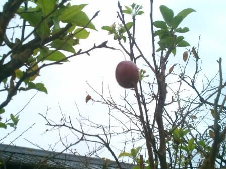 ひめりんご実ー3