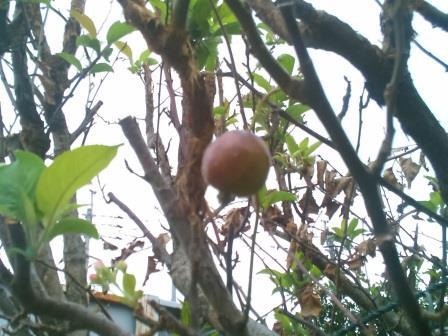 ひめりんご実ー2