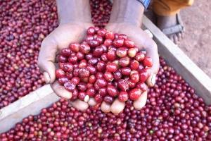 コーヒーの生豆です