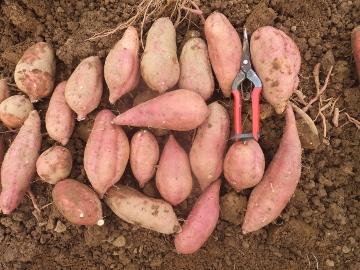 安納芋一畝9