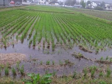 田んぼ水浸し