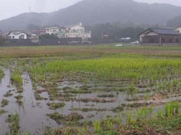 田んぼ水浸し5