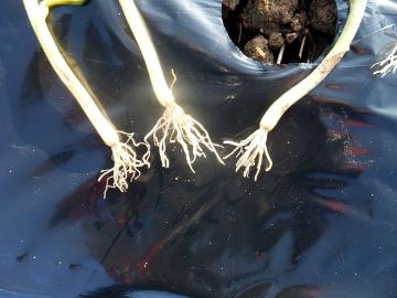 干支小物作りと玉ねぎ植え12