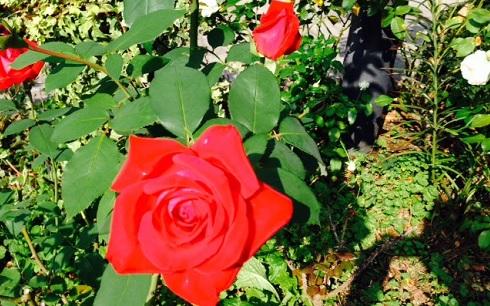 rose in tokyo 1
