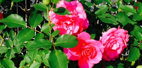 rose in tokyo