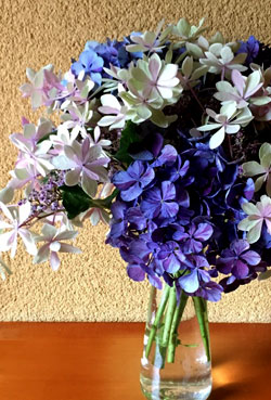 早崎_ヒヤシンスポットに紫陽花