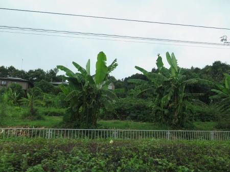 栃木県 バナナの木