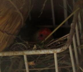 sf-nest3b.jpg